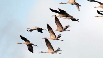 Birds-migrating-in-flight-on-white-background-1920x1080.jpg
